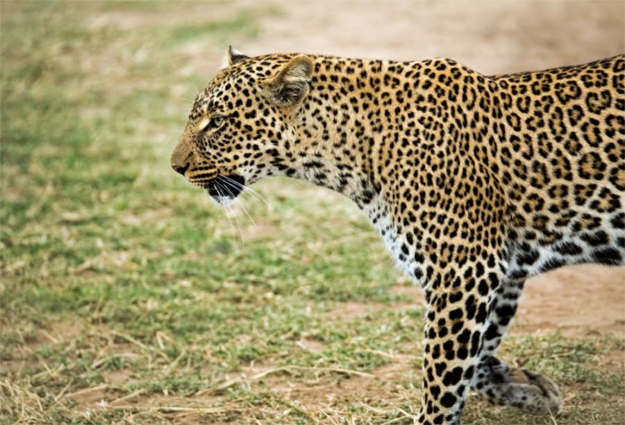 Um leopardo observando sua caça à distância